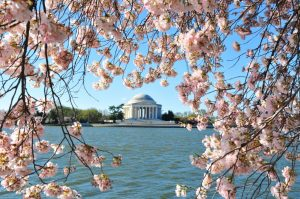 US-LIFESTYLE-CHERRY-BLOSSOMS